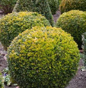 Buchsbaum Kugel 35-40cm - Buxus Kugel