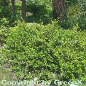 Buchsbaum Faulkner 20-25cm - Buxus microphylla