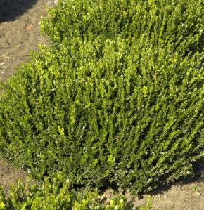 Buchsbaum Faulkner 15-20cm - Buxus microphylla
