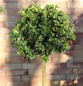 Hochstamm Hoher Buchsbaum 30-40cm - Buxus sempervierens arborescens