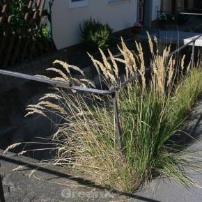 Berg Reitgras - Calamagrostis varia