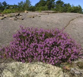 10x Besenheide Annemarie - Calluna vulgaris