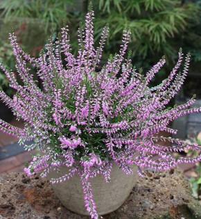 10x Besenheide Marleen - Calluna vulgaris
