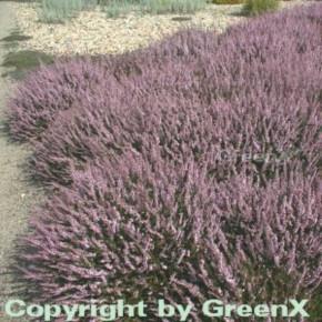10x Besenheide Peter Sparkes - Calluna vulgaris