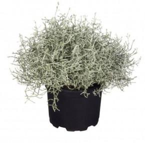Stacheldraht Silberbush 15-20cm - Calocephalus brownii