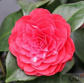Kamelie Lady Campbell 40-60cm - Camellia japonica