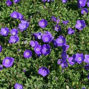 Karpaten Glockenblume Blue Uniform - Campanula carpatica