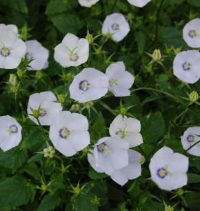 Karpaten Glockenblume Jenny - Campanula carpatica