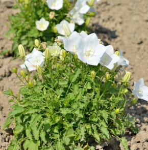 Karpaten Glockenblume Weiße Clips - Campanula carpatica