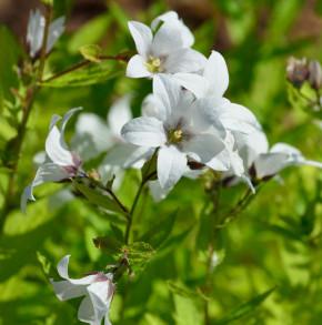 Doldenglockenblume Alba - Campanula lactiflora