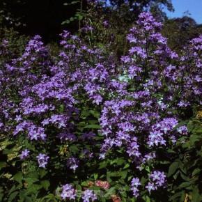Doldenglockenblume Pouffe - Campanula lactiflora