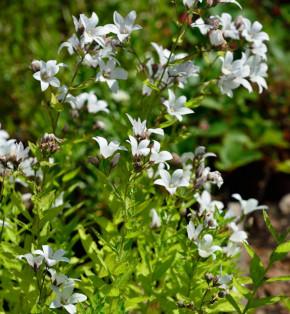 Doldenglockenblume White Pouffe - Campanula lactiflora