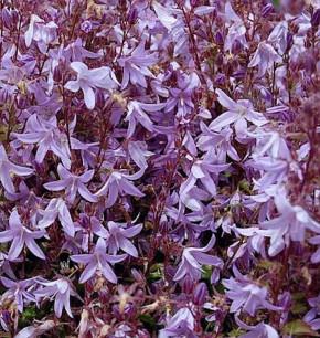 Glockenblume Frühlingszauber - Campanula poscharskyana