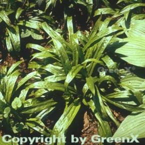 Breitblattsegge - Carex plantaginea