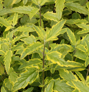 Bartblume Lemon and Lime 30-40cm - Caryopteris
