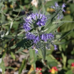 Bartblume Blue Fountain® 30-40cm - Caryopteris clandonensis