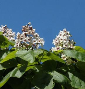 Trompetenbaum 80-100cm - Catalpa bignonioides