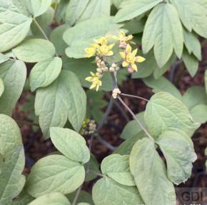 Blauer Hahnenfuß Robustum - Caulophyllum thalictroides