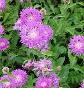 Filzige Flockenblume John Coutts - Centaurea hypoleuca