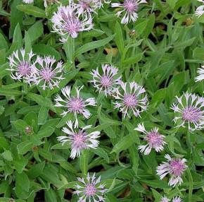 Bergflockenblume Rosea - Centaurea montana