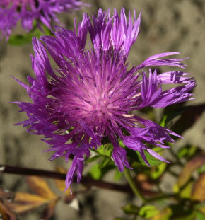 Schwarze Flockenblume - großer Topf - Centaurea nigra