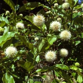 Weiß blühender Honig-Ball Magical Moonlight® 40-60cm - Cephalanthus occidentalis