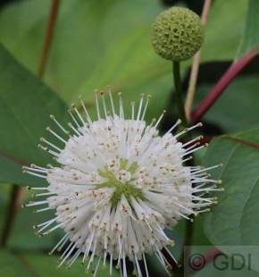 Kopfblume Knopfbusch 80-100cm - Cephalanthus occidentalis