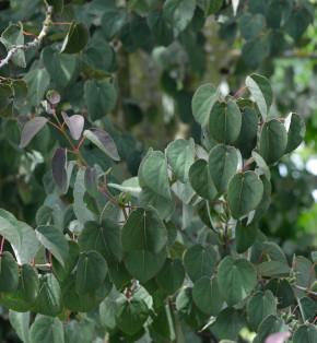 Judasblattbaum Rotfuchs 80-100cm - Cercidiphyllum japonicum