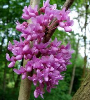Kanadischer Hänge Judasbaum Lavender Twist 40-60cm - Cercis canadensis