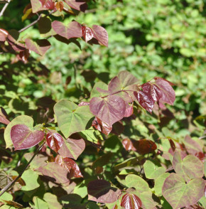 Kanadischer Judasbaum Red Force® 60-80cm - Cercis canadensis