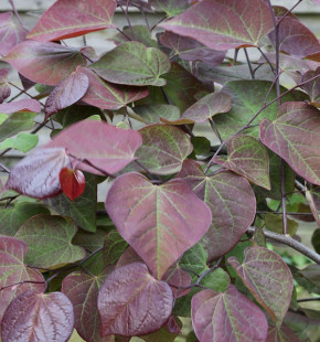 Kanadischer Judasbaum Ruby Falls 40-60cm - Cercis canadensis
