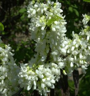 Kanadischer Judasbaum Shirobana 80-100cm - Cercis canadensis