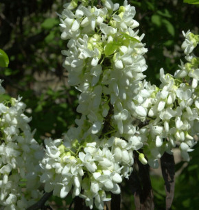 Kanadischer Judasbaum Shirobana 60-80cm - Cercis canadensis