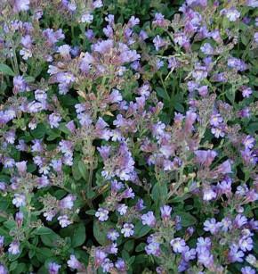 Garten Schein Löwenmaul Blue Dream - Chaenarrhinum origanifolium