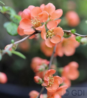 Zierquitte Orange Trail 40-60cm - Chaenomeles