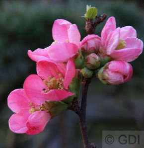 Hochstamm Zierquitte Pink Lady 60-80cm - Chaenomeles