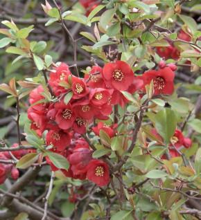 Zierquitte Red Joy 40-60cm - Chaenomeles