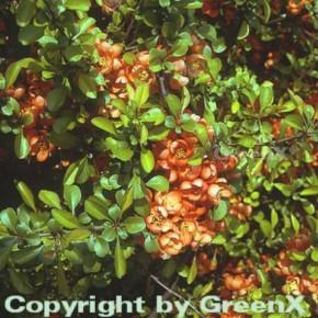 Niedrige Scheinquitte 40-60cm - Chaenomeles japonica