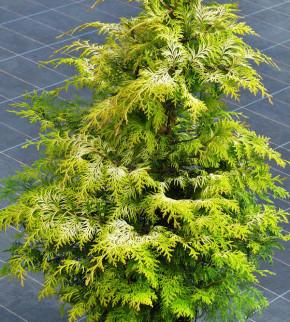 Zypresse Sunny Kiss 30-40cm - Chamaecyparis lawsoniana
