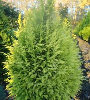 Garten Zypresse Sunny Smile 30-40cm - Chamaecyparis lawsoniana