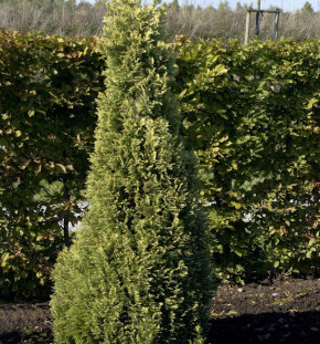 Garten Zypresse Sunny Smile 60-80cm - Chamaecyparis lawsoniana