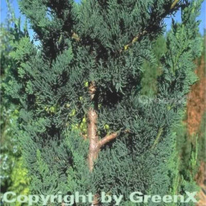Gartenzypresse Wisselii 20-25cm - Chamaecyparis lawsoniana