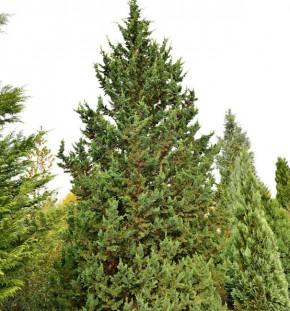Gartenzypresse Wisselii 60-80cm - Chamaecyparis lawsoniana