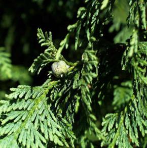 Blaue Nootka Scheinzypresse Glauca 40-50cm - Chamaecyparis nootkatensis