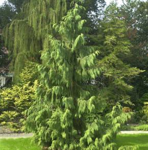 Mähnenzypresse 100-125cm - Chamaecyparis nootkatensis
