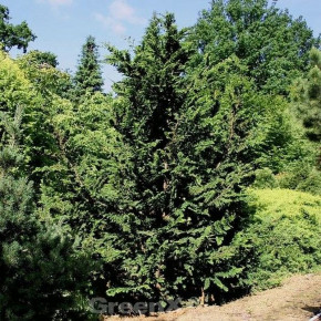 Hinoki Scheinzypresse Teddy Bear 30-40cm - Chamaecyparis obtusa