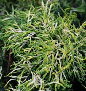 Gelbe Hinoki Scheinzypresse Tsatsumi Gold 60-70cm - Chamaecyparis obtusa