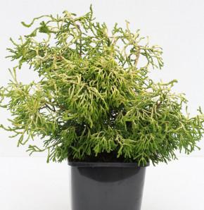 Gelbe Hinoki Scheinzypresse Tsatsumi Gold 30-40cm - Chamaecyparis obtusa