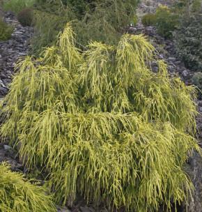 Gelbe Fadenzypresse 40-50cm - Chamaecyparis pisifera
