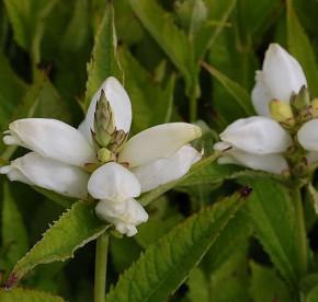 Schildblume Alba - Chelone obliqua